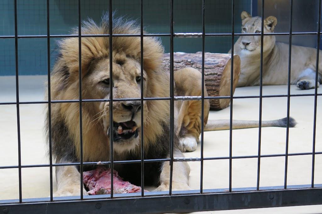 Zwei Löwen im Zoo