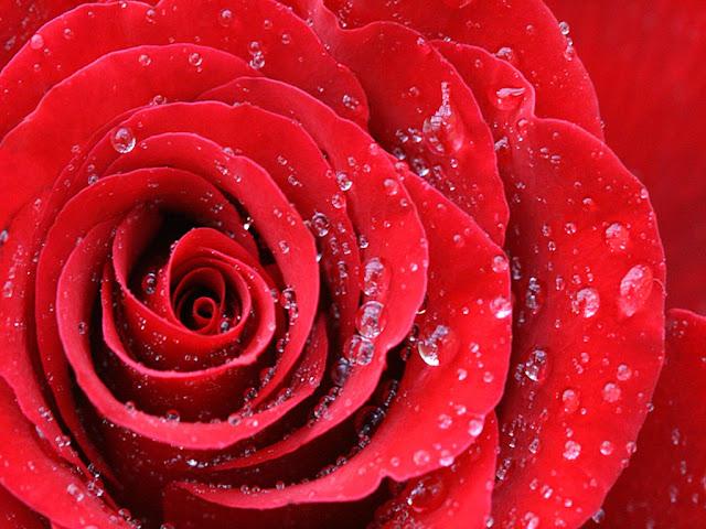 Regala una Rosa Hermosa