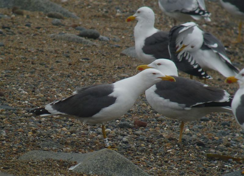 Colour Ringed Great Black Backed Gulls
