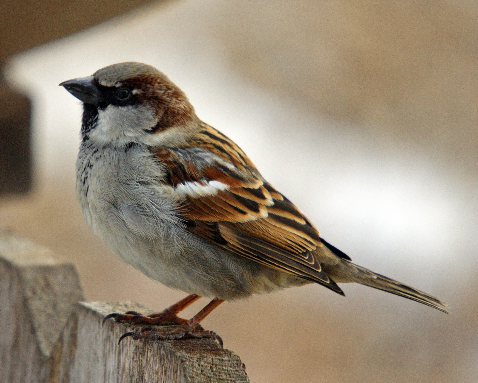 house sparrow most widely distributed wild bird americas africa