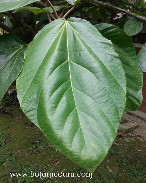 Ficus auriculata, Elephant Ear Fig leaves