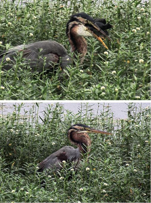 1-Dec-2011 Purple Heron with catch Pic: SK Srinivas