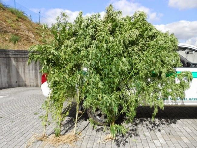 Detenção por cultivo de plantas cannabis