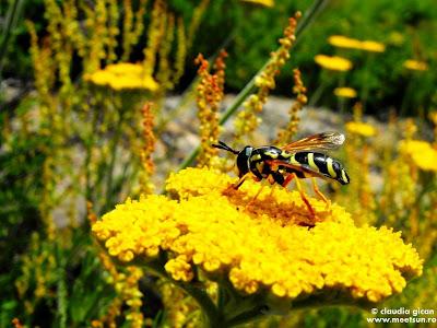 o viespe harnică la cules de polen