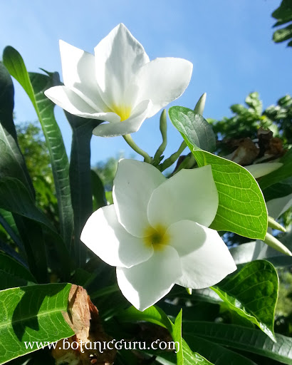 Plumeria pudica, Bridal Bouquet, Fiddle Leaf Plumeria flowers