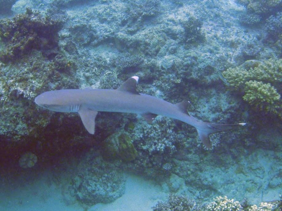 Triaenodon obesus (White Tip Reef Shark), Naigani Island, Fiji