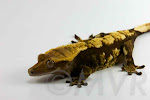 Tiny - Dark harlequin crested gecko from moonvalleyreptiles.com