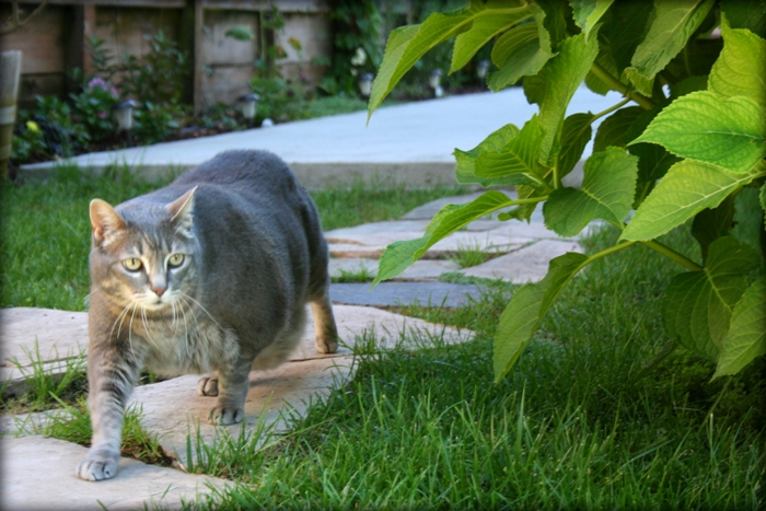 velveeta walking on the flagstone path in our backyard, you can see how round she is, and her stomach hangs loosely almost touching the ground