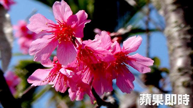 古坑-劍湖周邊的櫻花盛開啦 踏青賞花去吧!