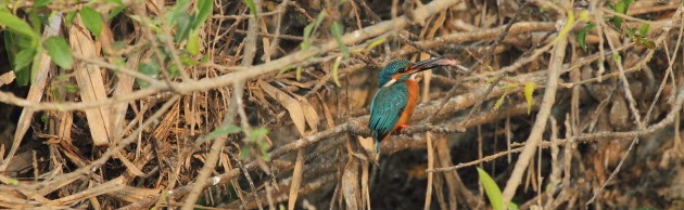 Small Blue Kingfisher at Ranganathitu Bird Sanctuary