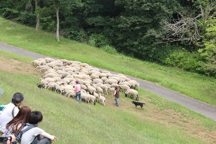 牧羊犬に追われる羊!