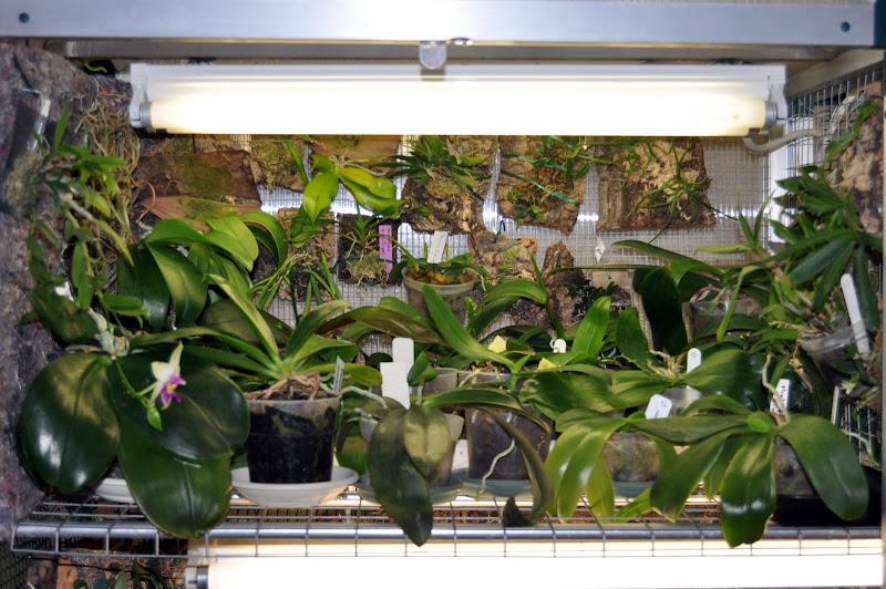 Le Genre Phalaenopsis DSC_0001