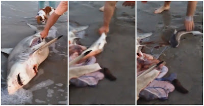 Encontraram Uma Tubarão Grávida Morta Na Praia E Ajudaram Ao Nascimento De Três Tubarões Bebés Numa Experiência Única