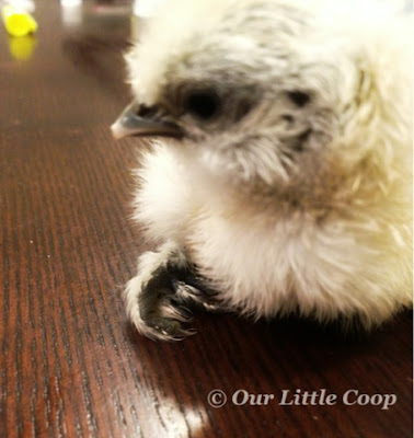silkie, chicken, curled, toes, fix, chick