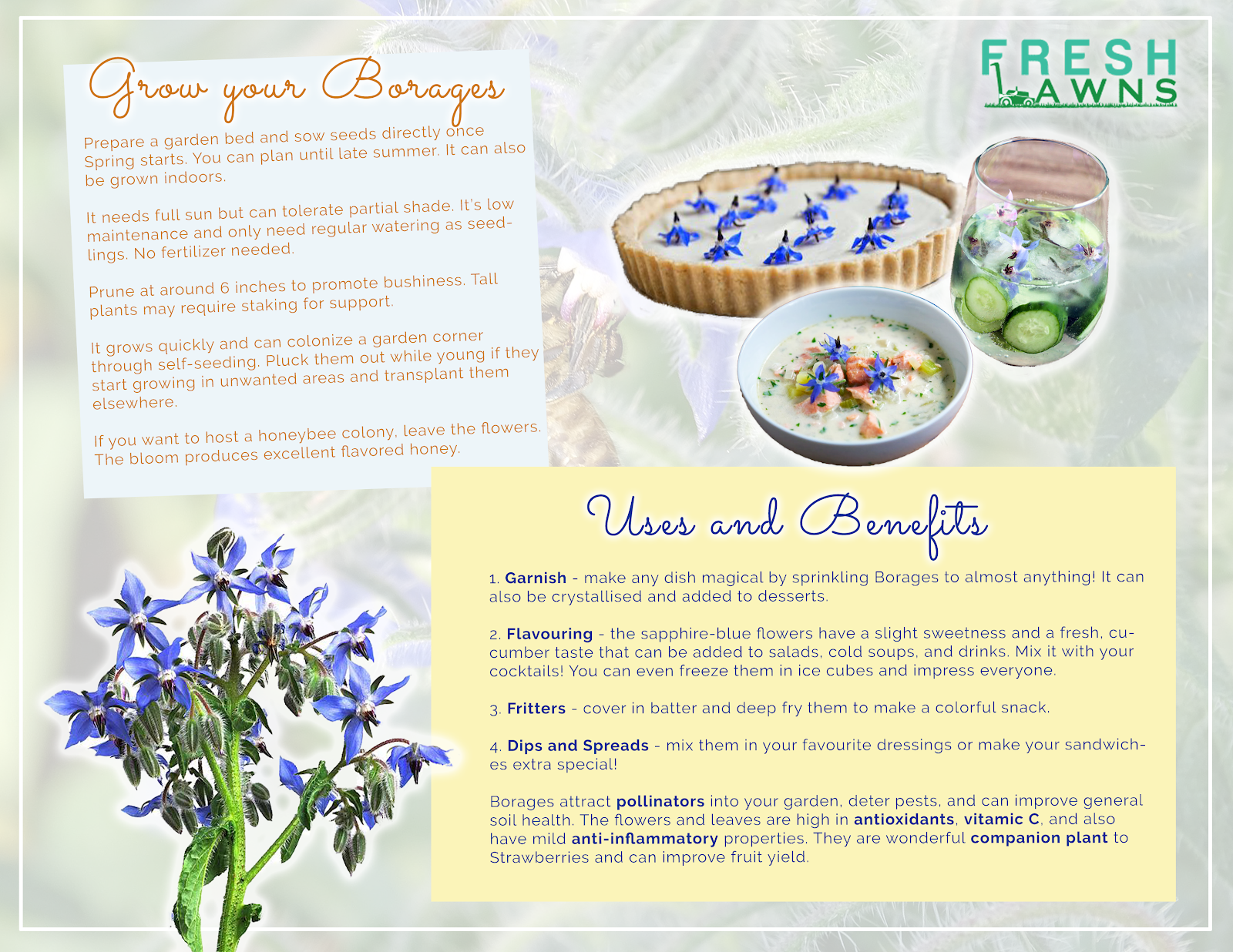 infographic for borage edible flowers