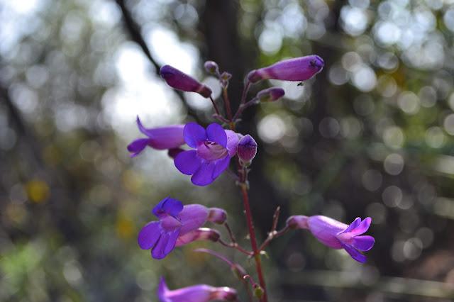purple trumpets