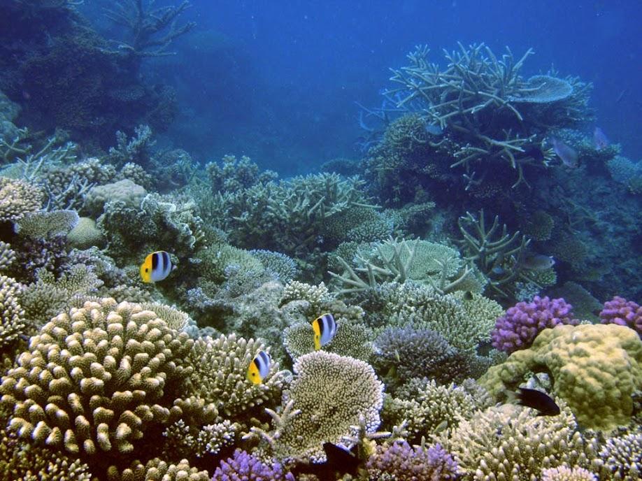 Chaetodon ulietensis (Double-saddle Butterflyfish), Naigani Island, Fiji.