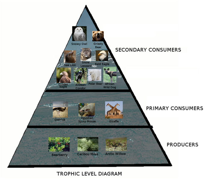 Surprising Trophic Level Diagram Amazing Zoo Tundra Wiring Digital Resources Remcakbiperorg