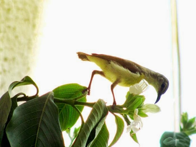 Sunbird on Adulasa tree