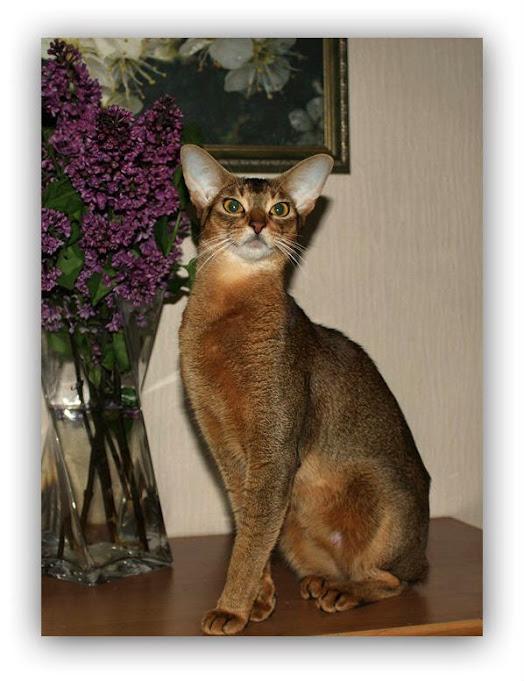 #Abyssinian cat Des Cavalier Feride