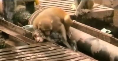 Macaco herói salva amigo numa estação de comboio na Índia
