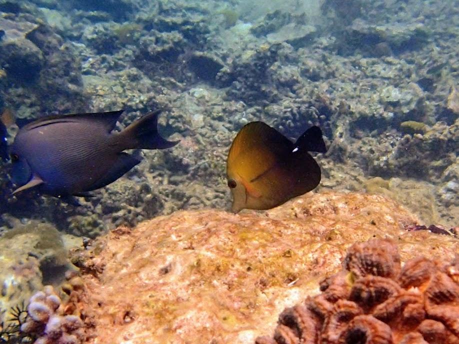 Zebrasoma scopas (Scopas Tang), Miniloc Island Resort reef, Palawan, Philippines.