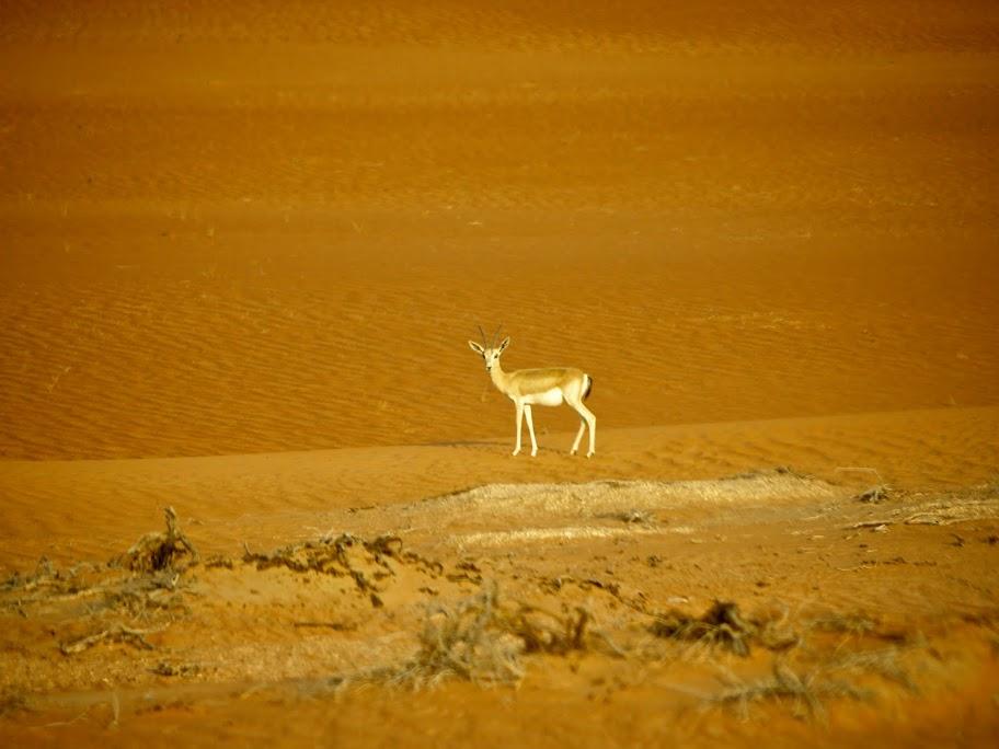 Pregnant gazelle