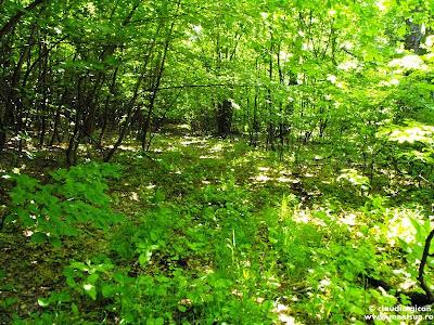 pădure în Macin