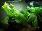 6 week lettuces (4 KRC, 2 little caesar romaine)