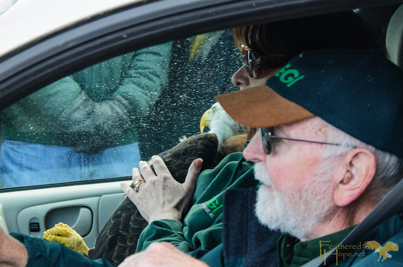 Marge and Don Gibson of Raptor Education Group Inc arrive at Sauk City Bald Eagle Days 2013 to release 4 rehabilitated bald eagles back into the wild.