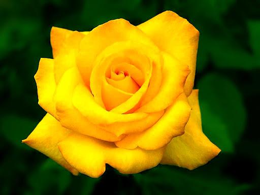 Big_yellow_Rose.jpg