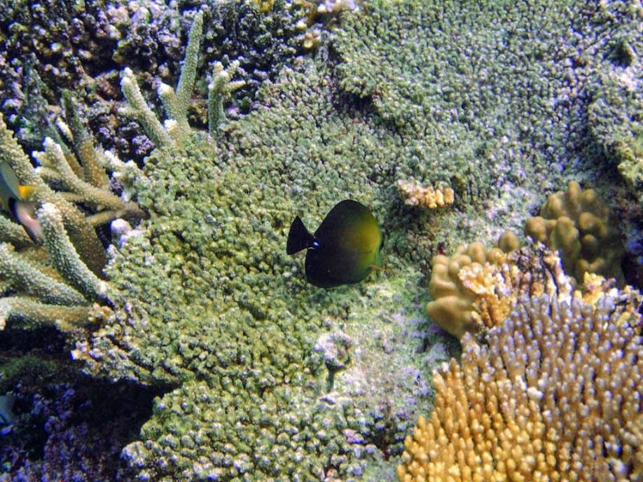 Zebrasoma scopas (Scopas Tang), Naigani Island, Fiji.