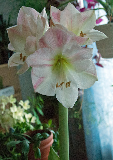 Vaalea amaryllis