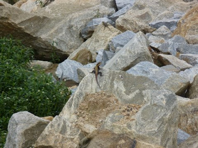 20-Aug-2011 Peninsular Rock Agama Pic: Vishaka Srinath