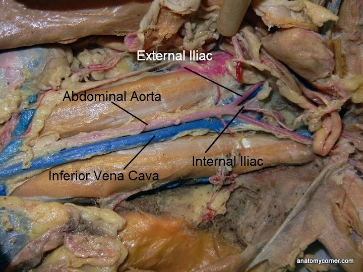 Cat Virtual Dissection Vessels Anatomy Corner