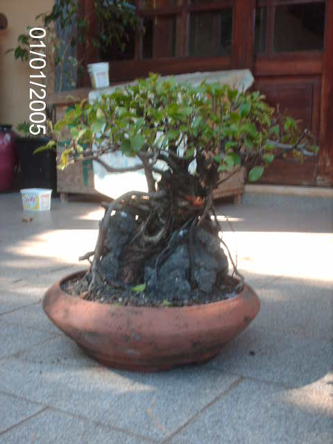 Ficus Microcarpa do Roberto Teixeira... PICT1732