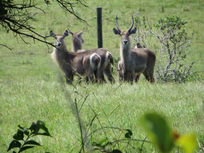 Waterbokken, iSimangaliso Wetland Park, Zuid Afrika
