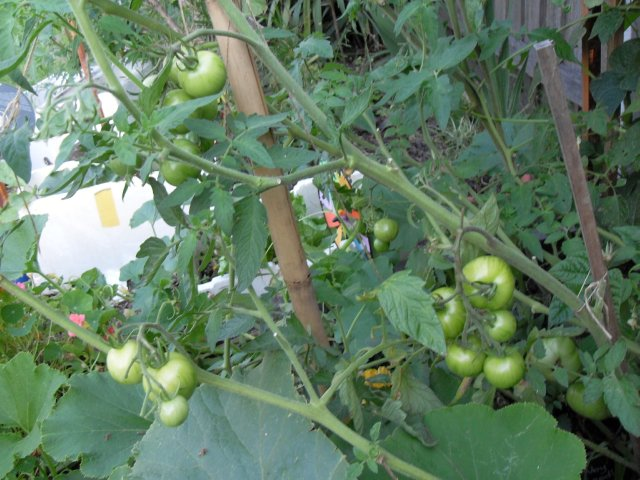 tomatoes ripen with fertiliser