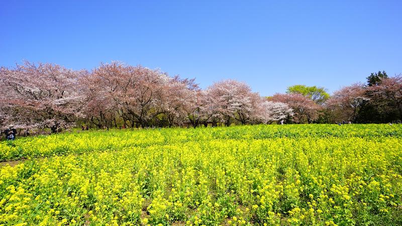 昭和記念公園 桜 写真16