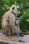 Mono con cría