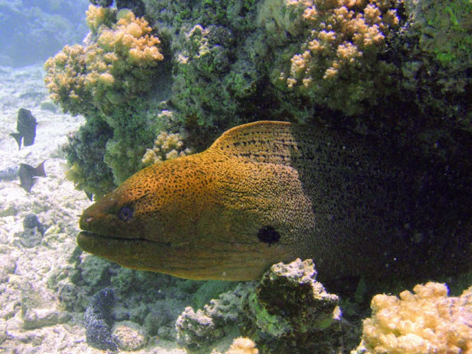 Gymnothorax javanicus (Giant Moray), Aitutaki.