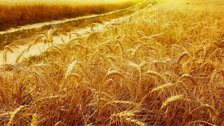 summer wheat wallpaper