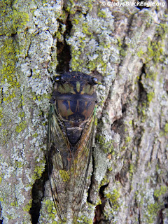 The cicada is the one responsible for the mid-to-late-summer droning sound you hear.