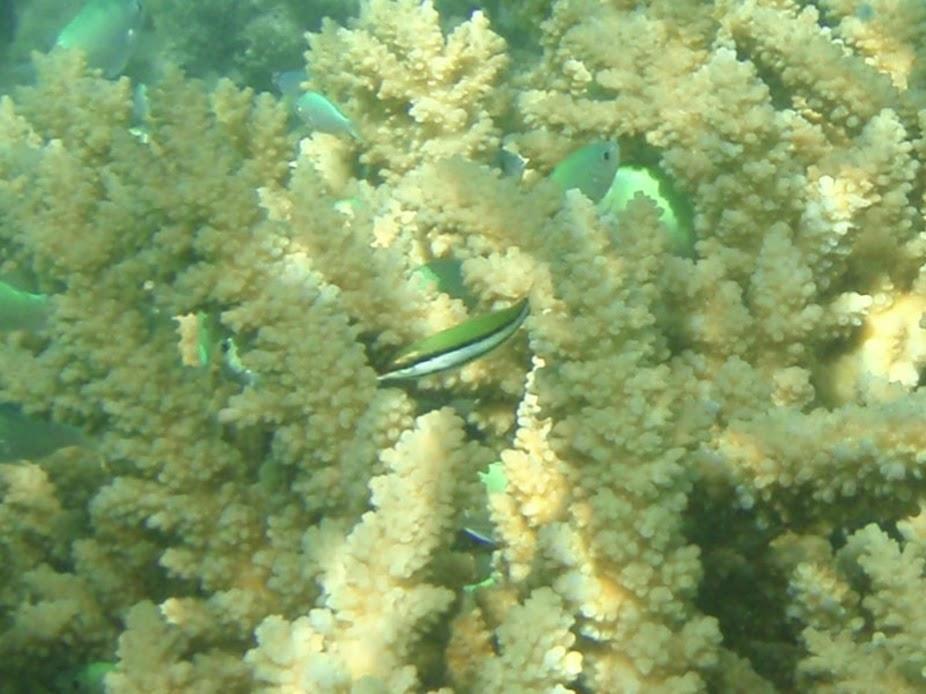 Gomphosus varius (Juv. Bird Wrasse), Aitutaki.