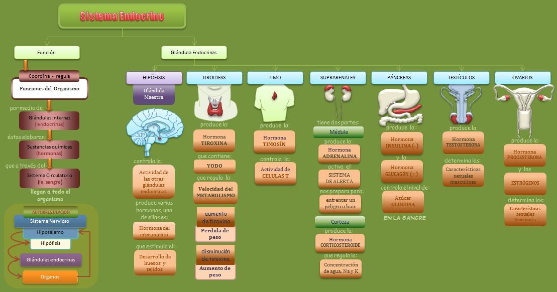 Sistema Endocrino | Esquemas, diagramas, gráficos y mapas conceptuales.