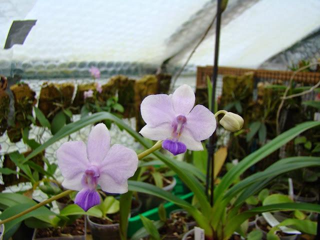 Phalaenopsis Siam Treasure DSC03417