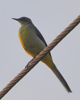 20-Feb-2013 Yellow Wagtail  Pic: Nirupama Sriram