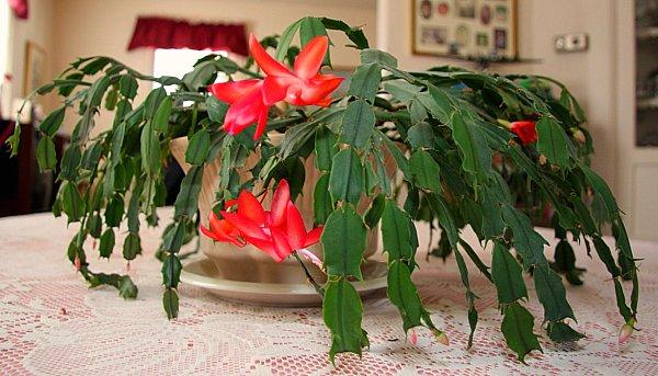 Los cactus de interior plantas - Cactus de interior ...