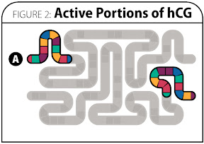 Figure 2: Active Portions of hCG