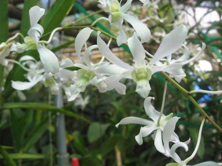Hoa lan dendro nắng giá trị cao